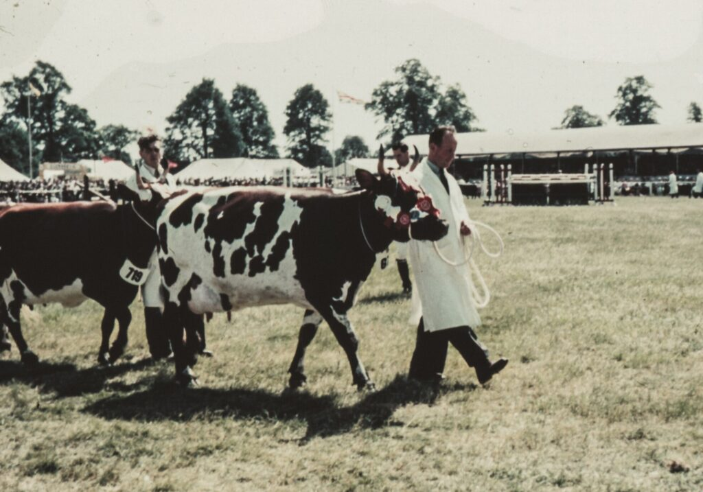 A cow being shown at an agricultural show.