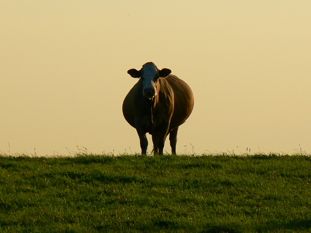 A heavily pregnant cow must eat enough to ensure healthy foetal growth.