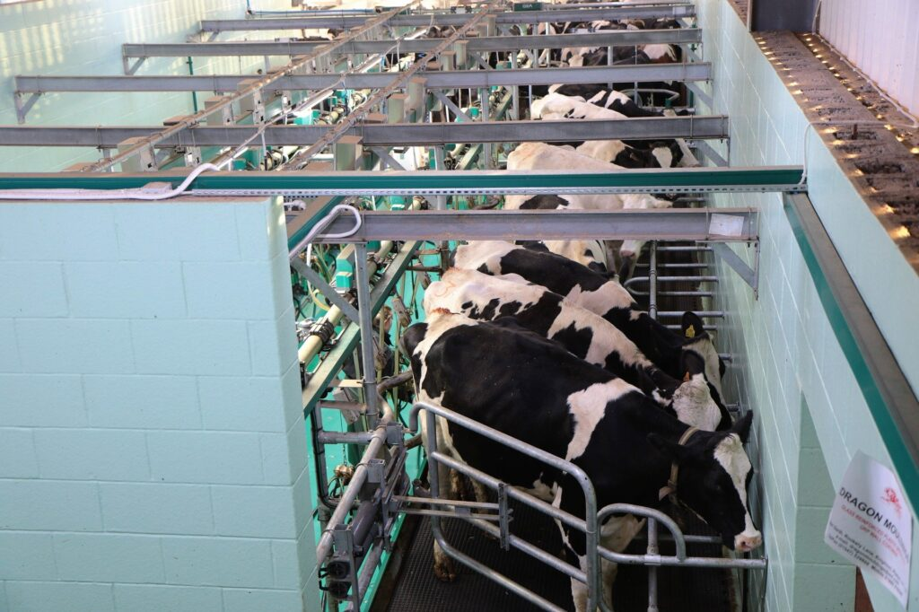 Dairy cows in a milking parlour