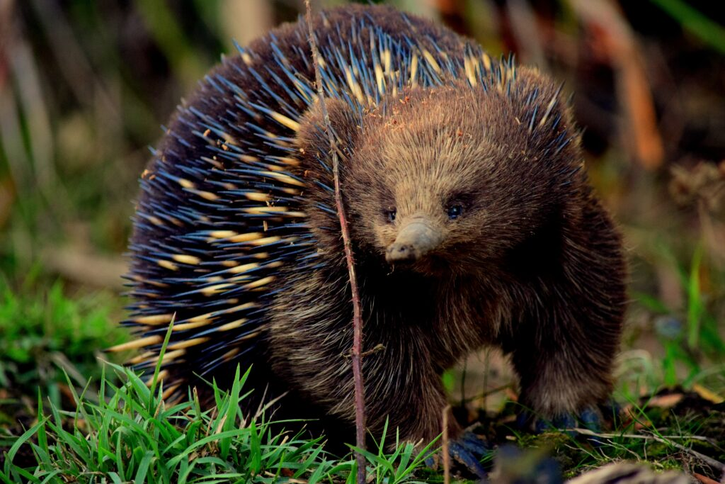 Monotremes, like this echidna, are the only mammals that don't have treats. They still lactate, but instead secrete it from their skin.