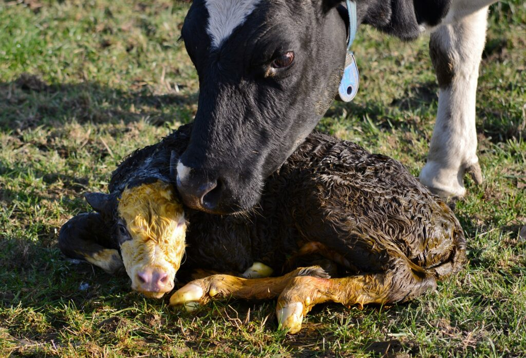 Voluntary waiting period is the time a farmer leaves between calving and deciding a cow is ready for service.